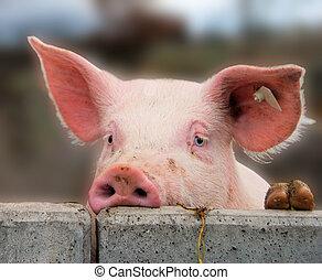かわいい, 若い, 豚