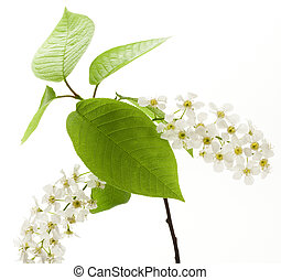 さくらんぼ, 白い花, 木, 鳥