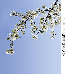 さくらんぼ, 白, 花