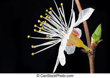 さくらんぼ, 花