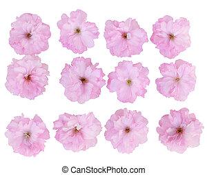 さくらんぼ, 花, セット