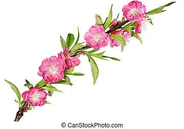 さくらんぼ, 花, ブランチ