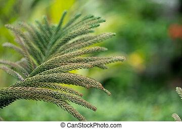 ぼんやりさせられた, 葉, 主題, 概念, 新たに, norfolk, バックグラウンド。, 草木の栽培場, 緑の島, 自然, 松