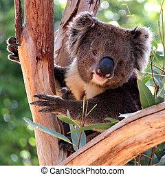 アデレード, ユーカリ, オーストラリア, コアラ, 木