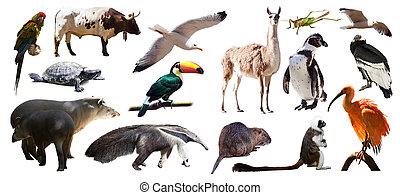アメリカ人, 上に, 白, セット, 隔離された, animals., 南