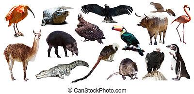 アメリカ人, 動物, セット, 白, 上に, 南