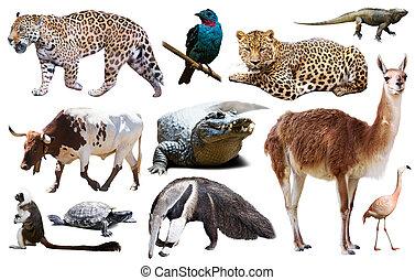 アメリカ, セット, 動物群, 南