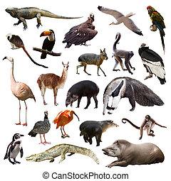 アメリカ, 動物, 背景, セット, 白, 上に, 南