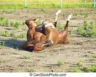 アラビアの馬, カタバミ, パドック