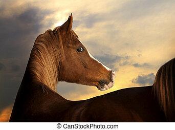 アラビアの馬