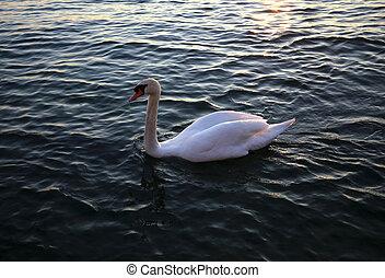 イタリア, 白鳥, garda, 湖, 白, 日没