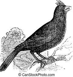 イラスト, 古い, 型, ヴァージニア, grosbeak, 枢機卿, cardinalis, とまった, branch., virginianus, 刻まれる, ∥あるいは∥, engraving.