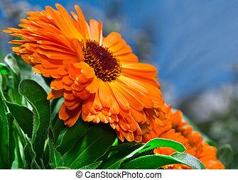 オレンジ, 青い空, calendula, 花