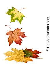 カラフルである, 葉, 下方に, 落ちる, かえで