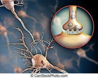 シナプス, ニューロン