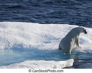 シロクマ, 流氷, 北極である, 氷, sea), (canadian, nunavut