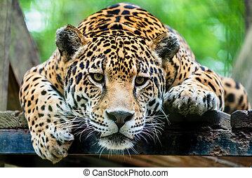 ジャガー, アメリカの南
