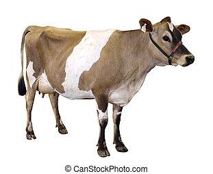 ジャージー, ホールター, 牛