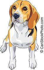 スケッチ, モデル, 品種, 犬, ビーグル犬, ベクトル