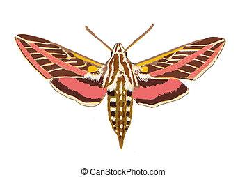 スフィンクス, moth
