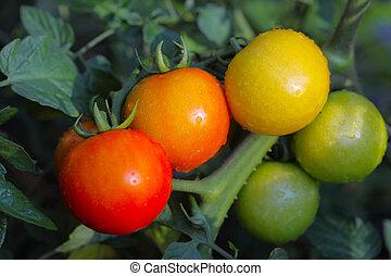 トマト, つる