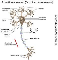 ニューロン, モーター
