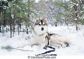 ハスキー, purebred, 雪, あること, 犬, ふんわりしている, 木, 森林, かわいい, siberian