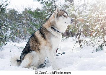 ハスキー, purebred, 雪, 犬, モデル, ふんわりしている, 木, 背景, siberian