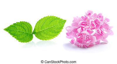 バックグラウンド。, 花, 白いhydrangea