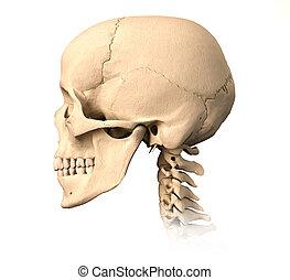 ビュー。, 頭骨, 側, 人間