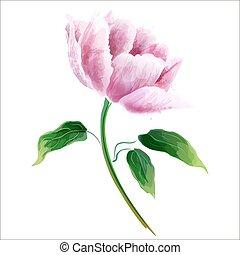 ピンクの背景, flower., 隔離された, ブランチ, 花が咲く, 白, シャクヤク