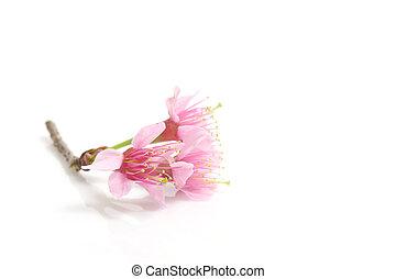 ピンクの花, 花, さくらんぼ, 隔離された, sakura, 背景, 白