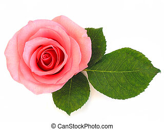 ピンクは 上がった, 緑の葉, 隔離された