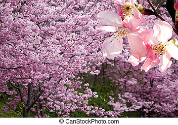 ピンク, 山, 花, sakura