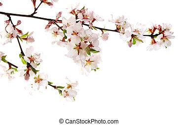ピンク, 桜