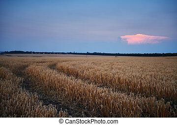フィールド, 小麦