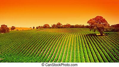 ブドウ園, 丘, 日の出