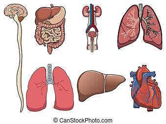 ベクトル, 人間, 器官
