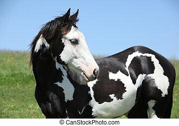 ペンキ, 馬, 種馬