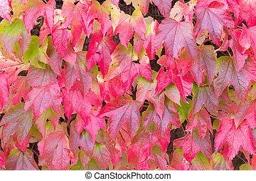 ボストン, 葉, ツタ, 赤, 秋
