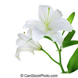 ユリ, 白, 隔離された, 美しい