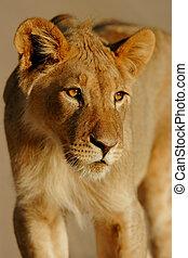 ライオン, 若い
