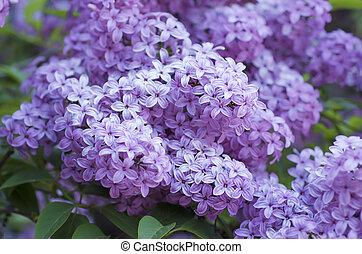 ライラック, 春の花