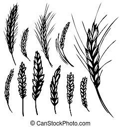 ライ麦, 小麦