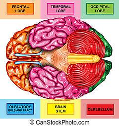 下側, 人間の頭脳, 光景