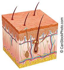 人間の皮膚