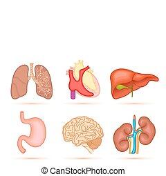 人間, 器官