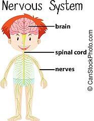 体, 神経質, 人間, システム