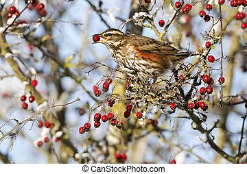 供給, iliacus, 12月, redwing, turdus, 鳥, ベリー, 単一, hawthorn, 凍りつくほどである, 2010, midlands