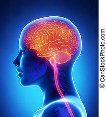 側面, 脳, 光景, 女性, 解剖学